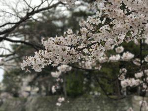津お城公園の桜